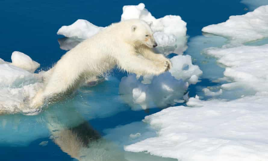 Polar bear in Arctic Norway