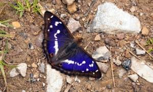 The purple emperor thrives on rewilded farmland.