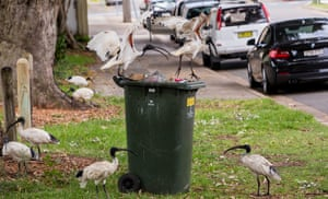 Two ibises fight over the best pickings of a household refuse bin, while others look on with varying degrees of indifference