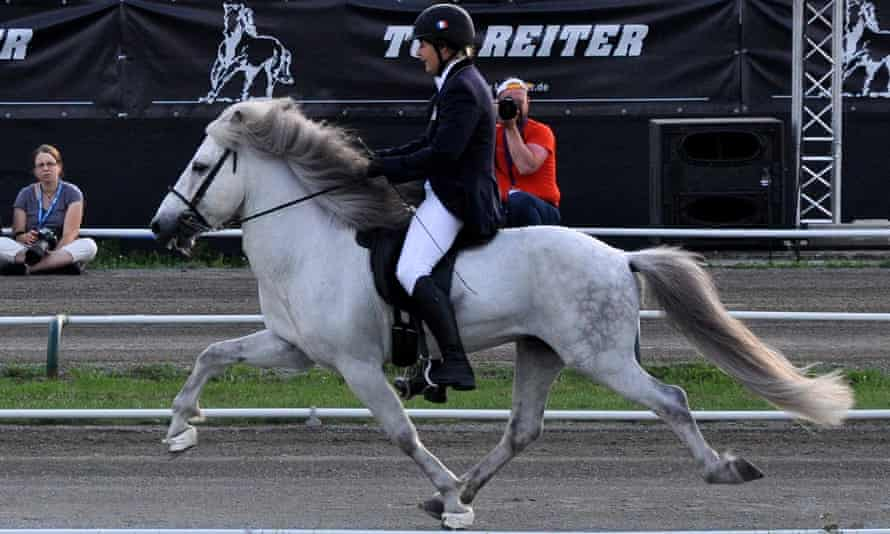 While all horses can walk, trot and gallop, the ability to amble is only found in certain breeds of horses, among them the Icelandic horse, pictured.