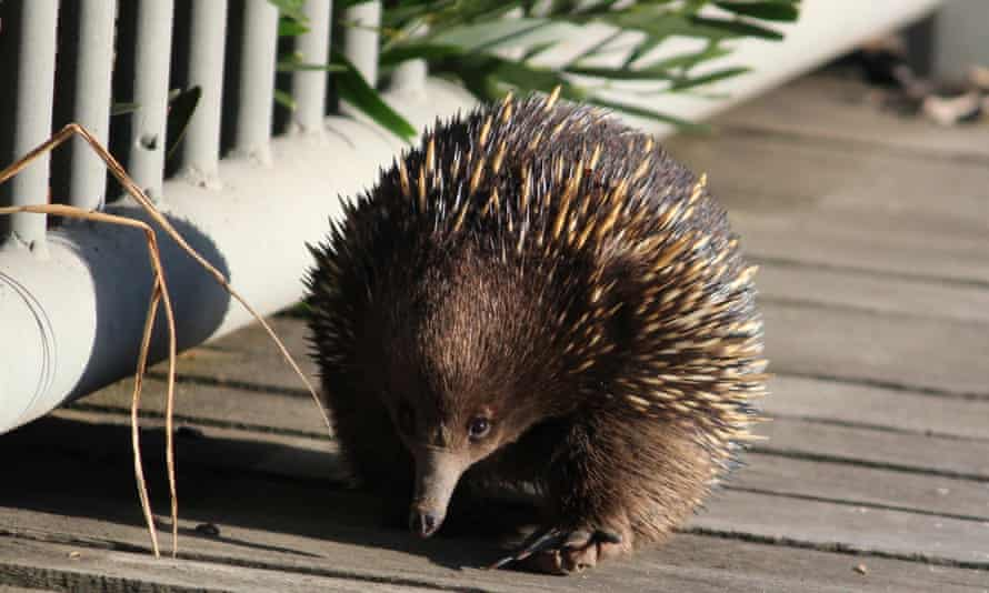 Researchers suggest providing bushes, scrub or hollow logs for echidnas