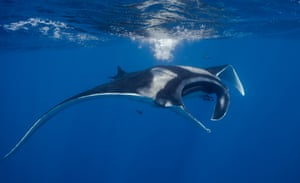 A manta ray floats through the water.