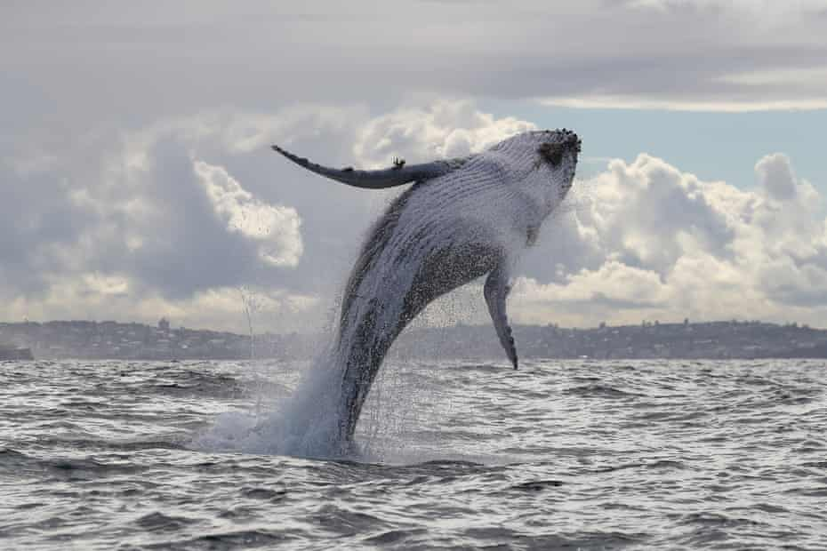 Whales sighted off the coast of Sydney, Australia