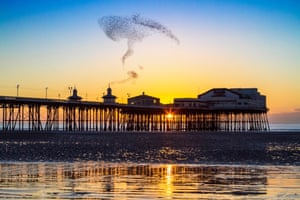 An amazing acrobatic display by the tens of thousands of Starlings looking to roost for the evening under the iron stanchions of Blackpool's famous North Pier