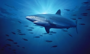 Silky shark populations have been hit by the fishing trade.