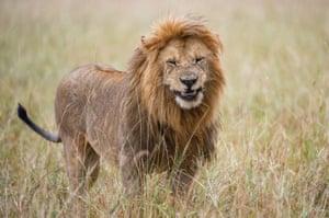 Smiling lion