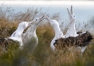 Northern royal albatrosses at the Royal Albatross Centre in Taiaroa Head, Dunedin, New Zealand. In a trial using technology shared by New Zealand and France, 169 albatrosses were fitted with radar detection tags to spot illegal fishing in November 2018 and released to the south of the Indian Ocean