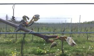Damaged buds at the Albury organic vineyard in Surrey