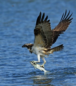 An osprey snatches a fish at Namdae stream in the city of Gangneung, South Korea