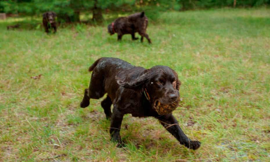 A trained Boykin spaniel sniffs out a box turtle.