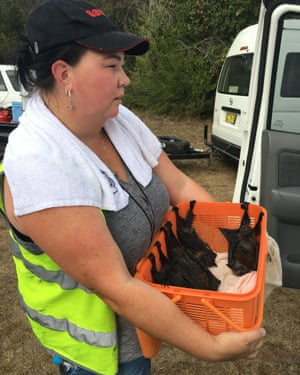 A volunteer helps rescue flying foxes in Campbelltown