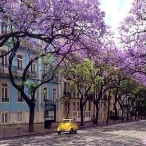 Lisbon's jacaranda trees in bloom.