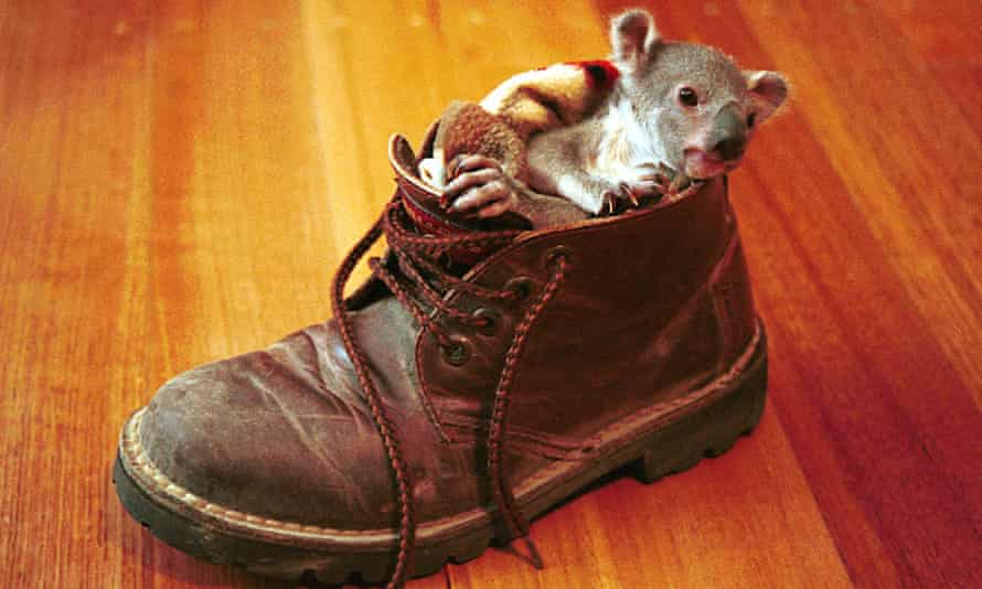 A four month old koala which was rescued in July 2000 after its mother died.