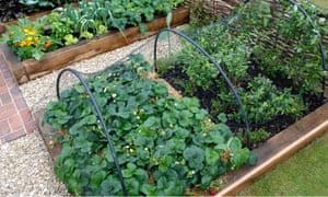 Raised wooden vegetable and fruit beds strawberries and blueberries under bird netting