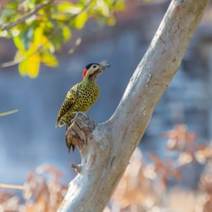 A green-barred woodpecker (Colaptes melanochloros) forages for insects on a guava tree in Asuncion, Paraguay.