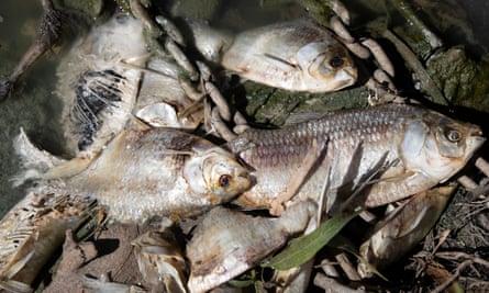 Darling River mass fish kill