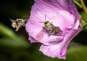 A bumblebee covered with pollen sits in a hibiscus flower in a garden in Bornheim, Frankfurt, Germany.