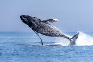 A grey whale jumps out of water off Cape Shipunsky on the Pacific Coast of Russia
