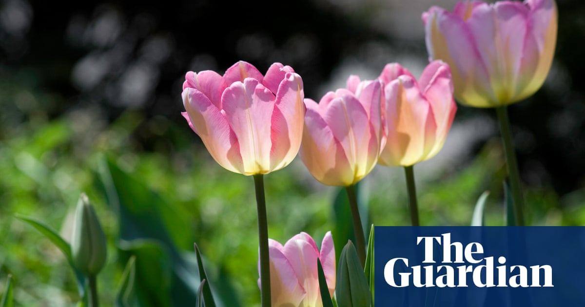 How to grow next year's tulips