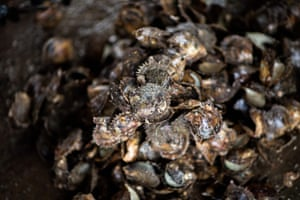 Of the 100,000 oysters harvested annually, half die immediately after the operation. The vast majority produce either mediocre pearls or nothing at all. Only around five percent of the oysters harvested will result in pearls of sufficient quality