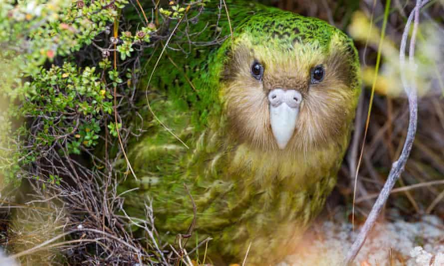Kakapo, endangered parrot