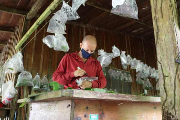 A parataxonomist monitors the health of caterpillars in a butterfly-rearing barn in the ACG. These will eventually be DNA barcoded.