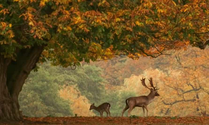 Roe Stag and Doe standing under an oak tree on a carpet of colourful autumnal leaves. The deer are facing away from each other.
