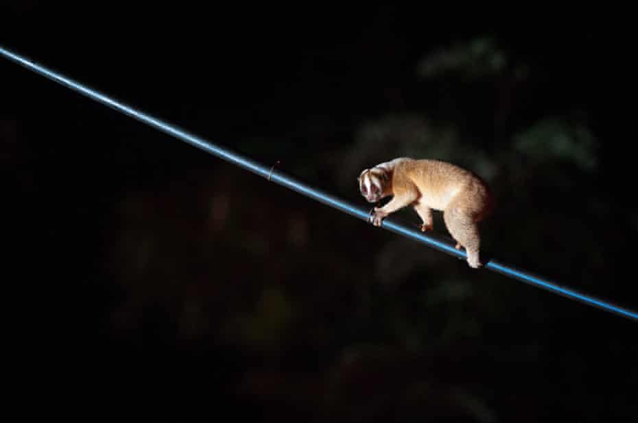 A slow loris on one of the pipe bridges.