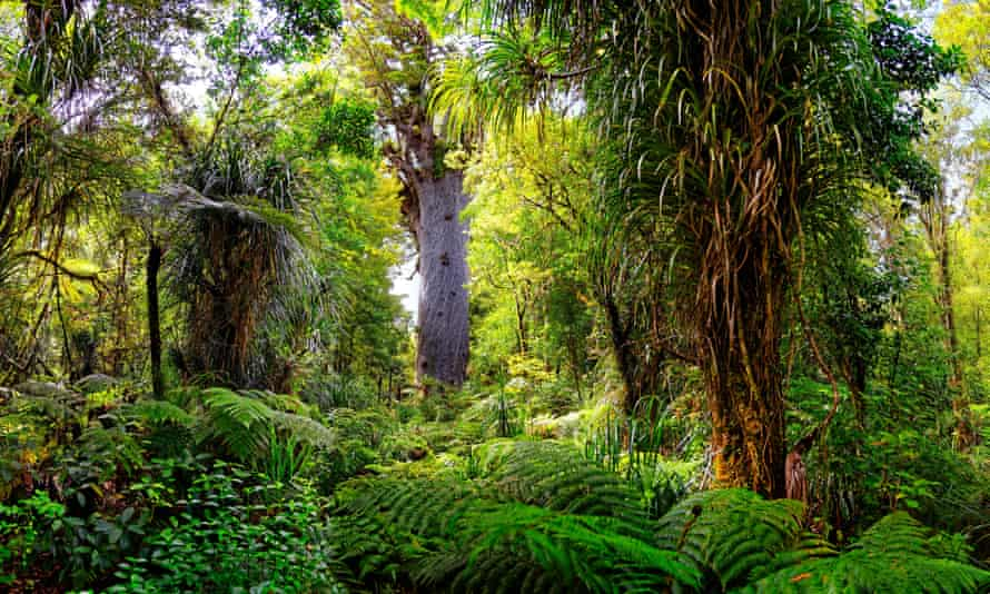 Walking Death Entitled Locals Hiking New Zealand S Kauri Trees Into Extinction New Zealand The Guardian Please continue watching anime/cartoons as usual. walking death entitled locals hiking