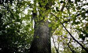 Common ash trees are under threat from chalara dieback.