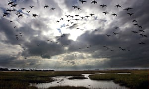 Migrating birds fly into Pagham Harbour near Chichester