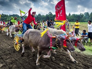 Bali, Indonesia Teams of racing water buffalo at the finish line of a makepung (buffalo race)around a track cut through rice fields