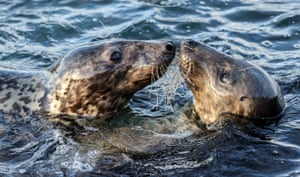 Two seals in water touching noses