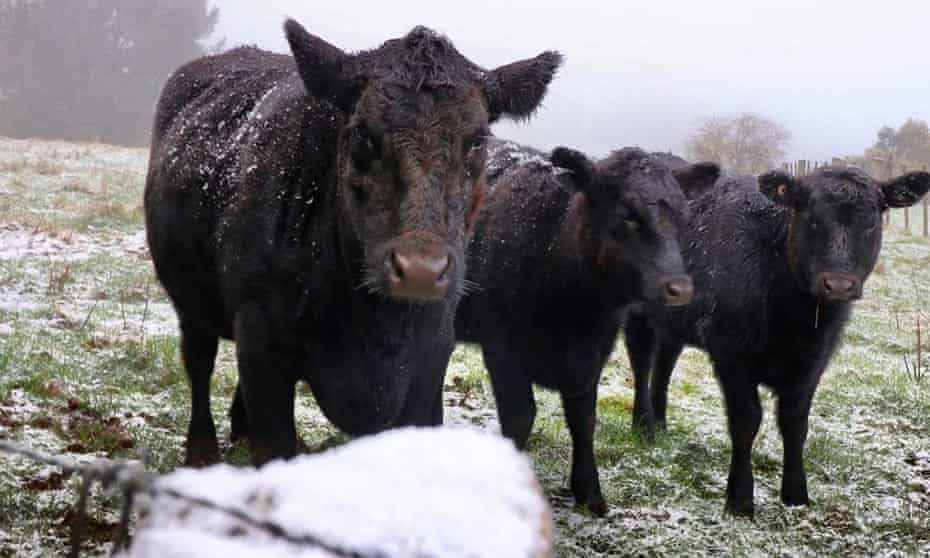 Cold cows on Mount Buninyong near Ballarat. The wintery blast will extend across parts of Tasmania, Victoria, NSW and the ACT.