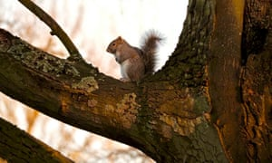 Grey squirrel up in the branches