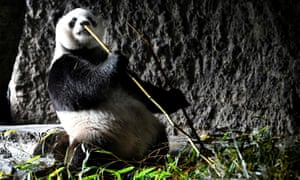 A panda rocks-out at the Pairi Daiza zoo and botanical garden in Brugelette, Belgium