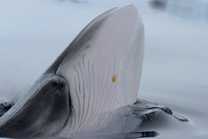 Antarctic minke whale showing the underside of its mouth and the ventral grooves that expand when feeding. The whale's eye is also visible. Wilhelmina Bay in Antarctic Peninsula.