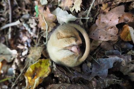 A Hazel dormouse  dozing ahead of its winter hibernation