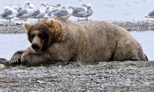 Holly, aka Bear 435, the winner of Fat Bear Week 2019, reclines in Alaska's Katmai national park.