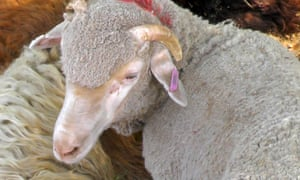 Three thousand sheep died on a voyage from Fremantle to Doha last year.