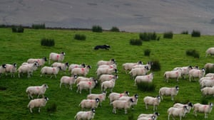 Some farmers believe that in future grazing animals will be used as a management tool for plantations rather than the dominant form of farming.