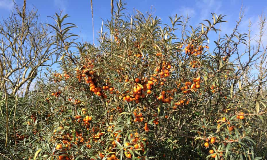 Sea buckthorn lends and orange glow to much of this coast