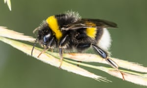 A buff-tailed bumblebee. The bee's electrostatic charges help attract pollen grains.