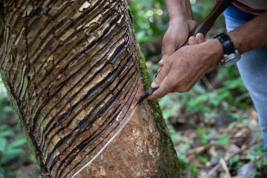 Scoring a rubber tree.