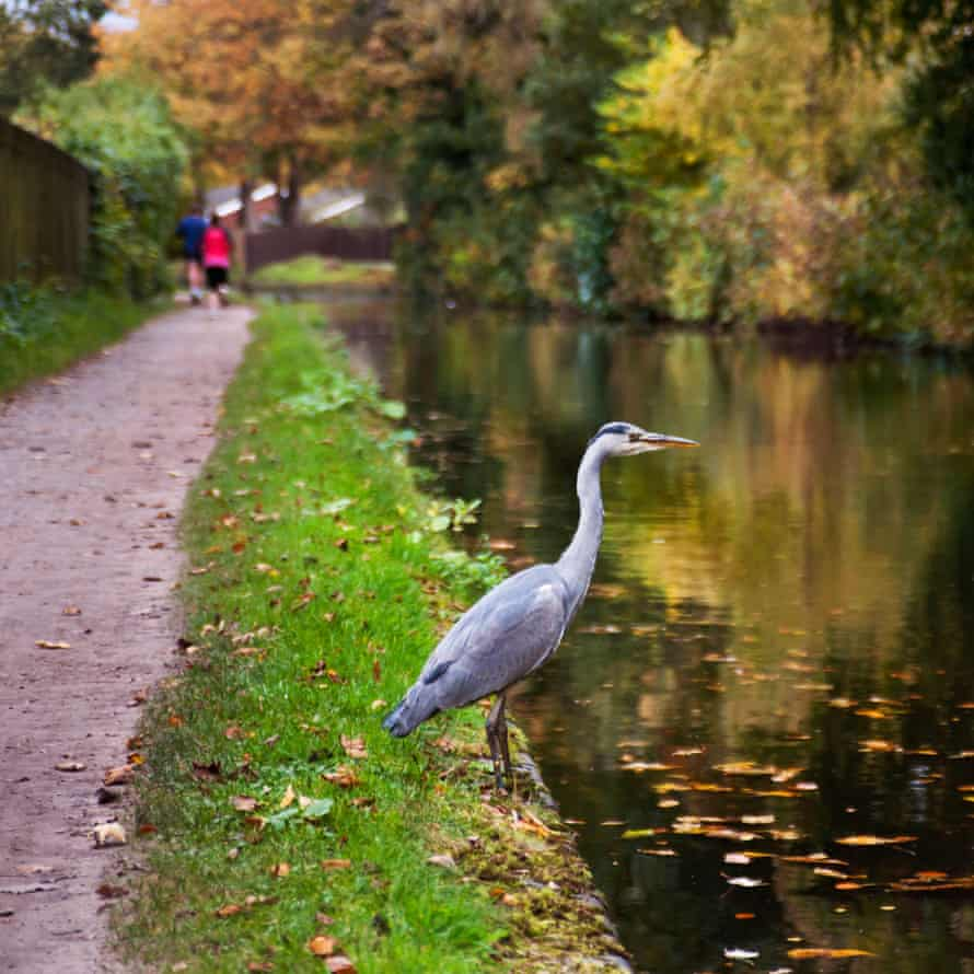 Heron beside the Birmingham and Worcester Canal, Edgbaston, Birmingham
