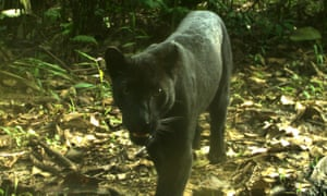 "A melanistic leopard caught on camera trap in peninsular Malaysia where such ""black panthers"" are more common than spotted."