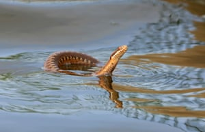 A rare sighting of an adder swimming in Norfolk's Hickling Broad national nature reserve. It is perhaps trying to keep cool.