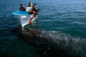 Tourists spot a grey whale at Ojo de Liebre lagoon