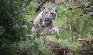 A rare 'pale tiger' discovered in the wilds of Tamil Nadu state in India.