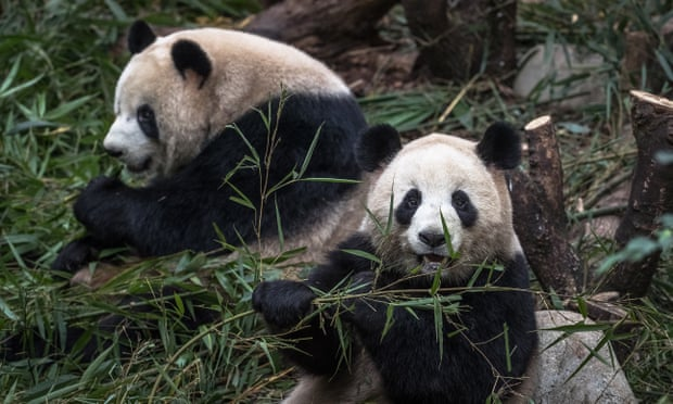 Giant pandas no longer endangered in the wild, China announces